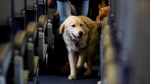 FILE - In this April 1, 2017 file photo, a service dog strolls through the isle inside a United Airlines plane at Newark Liberty International Airport while taking part in a training exercise in Newark, N.J. The Transportation Department issued a final rule Wednesday, Dec. 2, 2020, covering service animals. (AP Photo/Julio Cortez, File)