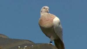 FILE - In this Jan. 13, 2021, file image made from video, a pigeon with a blue leg band stands on a rooftop in Melbourne, Australia. A U.S. bird organization said the leg band identifying the bird as a U.S. racing pigeon was counterfeit, which may save the bird from strict Australian biosecurity policies that would call for a U.S. pigeon to be killed. (Channel 9 via AP, File)