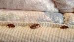 This undated file photo provided by Orkin LLC shows bed bugs. THE CANADIAN PRESS/AP - Orkin LLC