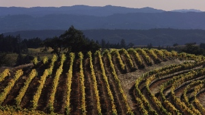 A Cabernet Sauvignon vineyard in full fall color is viewed in this 2006 Alexander Valley, Sonoma County, California, landscape photo. (Photo by George Rose/Getty Images)