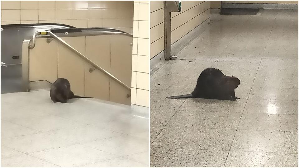 A beaver wandered into a TTC station on March 25, 2021. (Twitter/ Jenn Abbott)