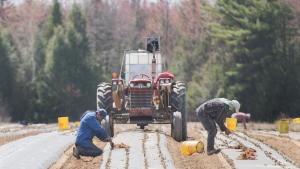 Temporary foreign workers from Mexico plant strawberries on a farm in Mirabel, Que., Wednesday, May 6, 2020. The Mexican government says it will resume sending farm workers to Canada after securing a promise of better working conditions to curb outbreaks of COVID-19. THE CANADIAN PRESS/Graham Hughes