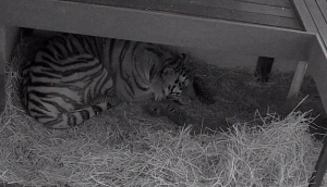 Mazy and her three cubs are seen in video surveillance footage provided by the Toronto Zoo.