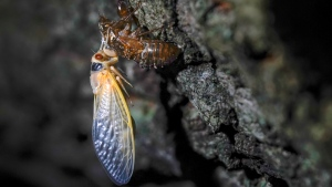 An adult cicada rests after shedding its nymphal skin, on the bark of an an oak tree early Wednesday, May 5, 2021, on the University of Maryland campus in College Park, Md. Trillions of cicadas are about to emerge from 15 states in the U.S. East. Scientists say Brood X is one of the biggest for these bugs which come out only once every 17 years. (AP Photo/Carolyn Kaster)