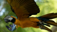 A blue-and-yellow macaw that zookeepers named Juliet flies outside the enclosure where macaws are kept at BioParque, in Rio de Janeiro, Brazil, Wednesday, May 5, 2021. Juliet is believed to be the only wild specimen left in the Brazilian city where the birds once flew far and wide. (AP Photo/Bruna Prado)