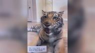 Victor Hugo Cuevas' attorney Michael Elliott handed out photos of Cuevas and the missing tiger India. (CNN)