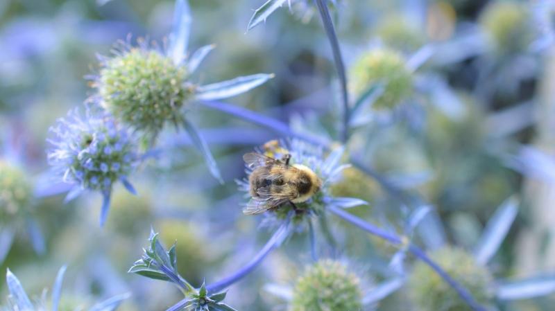 BumbleBee- Pollinator Partnership Canada