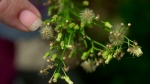 In this Aug. 14, 2001, file photo, a woman points to the pollen on a ragweed plant in Newark, N.J. THE CANADIAN PRESS/AP/Daniel Hulshizer, File