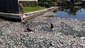 FILE - In this Tuesday, Oct. 30, 2012, file photo, Kim Bertini looks over some of the 15,000 dead fish that washed up near her backyard on Lake Madeline in Galveston, Texas. Bertini said she and her husband, Chris, noticed dying fish on a Saturday and woke up the following morning to the dead, floating fish. The Galveston County Daily News reported that experts blame low levels of dissolved oxygen for the fish kill in Lake Madeline. Oxygen levels have dropped in hundreds of lakes in the United States and Europe over the last 40 years, a new study has found. (Jennifer Reynolds/The Galveston County Daily News via AP, File)