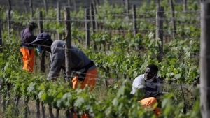 Ehikwe Ambrose, of Nigeria, right, works on a grapevine with workmates Ibrahima Fofana, of Mali, center, and Samadou Yabati, of Togo, at the Nardi vineyard in Casal del Bosco, Italy, Thursday, May 27, 2021. It is a long way, and a risky one. But for this group of migrants at least it was worth the effort. They come from Ghana, Togo, Sierra Leone, Pakistan, Guinea Bissau, among other countries. They all crossed the Sahara desert, then from Libya the perilous Mediterranean Sea until they reached Italian shores, now they find hope working in the vineyards of Tuscany to make the renown Brunello wine. (AP Photo/Gregorio Borgia)