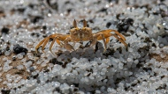 FILE - In this Monday, May 31, 2021 file photo, a crab roams on a beach polluted with polythene pellets that washed ashore from burning ship MV X-Press Pearl anchored off Colombo port at Kapungoda, out skirts of Colombo, Sri Lanka. To save the planet, the world needs to tackle twin crises of climate change and species loss together, using solutions that fix both not just one, two different teams of United Nations scientists said in a joint report released on Thursday, June 10, 2021. (AP Photo/Eranga Jayawardena, File)