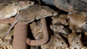 FILE - In this May 19, 2021, file photo, mice scurry around stored grain on a farm near Tottenham, Australia. A mouse plague that has ravaged vast swathes of eastern Australia has forced the evacuation of a prison while authorities repair gnawed electrical wiring and clear dead and decaying mice from wall cavities and ceilings, Corrective Services Commissioner Peter Severin said on Tuesday, June 22, 2021. (AP Photo/Rick Rycroft, File)