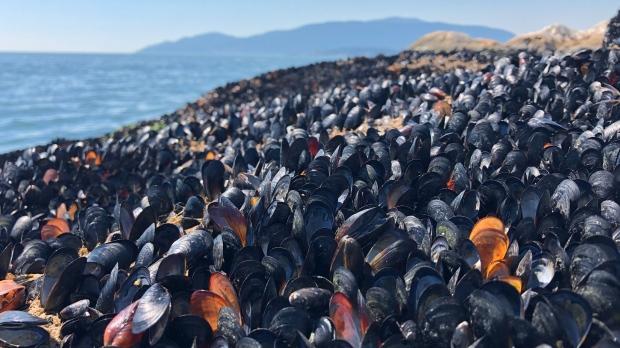 Mussel heat deaths