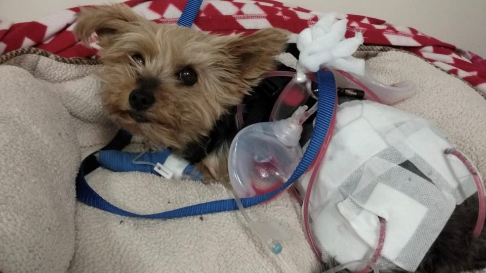 Macy, a six-year-old Yorkie, is seen in this photo provided by family.