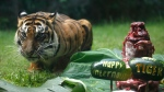 Sean, a seven-year-old female Sumatran tiger, is seen inside its enclosure at the Bali Zoo in Bali, Indonesia on Tuesday, July 28, 2020. Two rare Sumatran tigers at the zoo in the Indonesian capital are recovering after being infected with COVID-19. (AP Photo/Firdia Lisnawati)