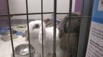 Guelph bunny
