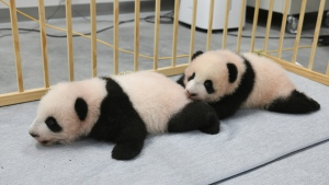 This photo released by Tokyo Zoological Park Society shows giant panda twins, male Xiao Xiao, left, and female Lei Lei, 103 days after they were born at Ueno Zoo in Tokyo Monday, Oct. 4, 2021. The twin cubs, which were palm-size pink creatures when born on June 23, got their names Friday, Oct. 8, 2021, chosen from hundreds of thousands of suggestions sent from fans around the country. (Tokyo Zoological Park Society via AP)