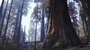 FILE - In this Oct. 15, 2021, file photo a giant sequoia, right, shows blackened scarring from the forest fire, seen during a media tour of Redwood Canyon in Kings Canyon National Park, Calif. The California highway connecting visitors to the world's two largest sequoia trees remains closed so crews can remove as many as 10,000 trees weakened by wildfires, drought, disease or age. (Eric Paul Zamora/The Fresno Bee via AP, File)