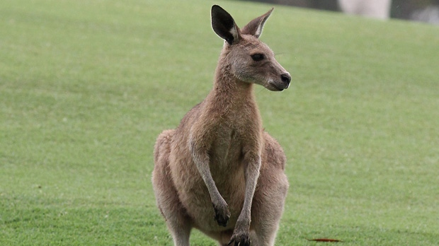 Kangaroo file photo