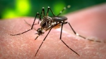 This 2006 photo made available by the Centers for Disease Control and Prevention shows a female Aedes aegypti mosquito acquiring a blood meal from a human host at the Centers for Disease Control in Atlanta. (Centers for Disease Control and Prevention)