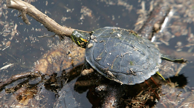 Poachers sell turtles on the black market, threatening their