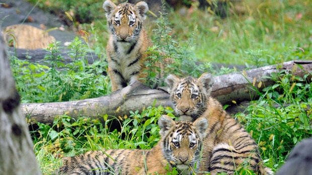 In this Sept. 20, 2010 photo provided by the Wildlife Conservation Society, three Amur tiger cubs rest by a fallen tree limb at the Tiger Mountain exhibit at the Bronx Zoo in New York. (AP Photo/WCS, Julie Larsen Maher)