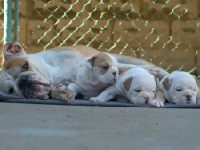 Three English Bulldog puppies who were stolen from an east-end backyard are pictured here with their mother.